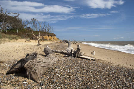 Dead trees on Benacre Beach in Suffolk, England Stock Photo
