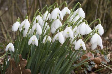 uplifting: Galanthus nivalis - Snowdrops