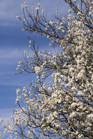 Prunus Spinosa against a blue sky photo