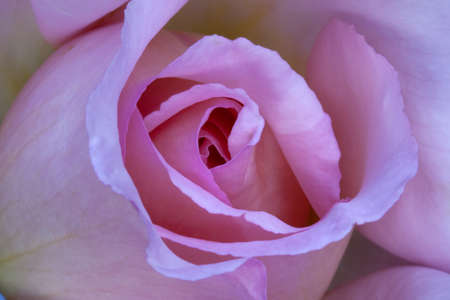 Rosa Compassion - pale pink rose