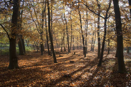 Autumn trees in Tunstall Forest, Suffolk, England