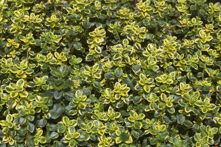 Close-up image of Thymus pulegioides