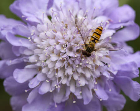 Hover Fly on Scabiosa