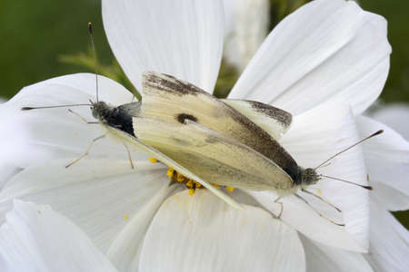 Close-up image of Small White Butterflies (Pieris rapae) mating on White Cosmos Stock Photo