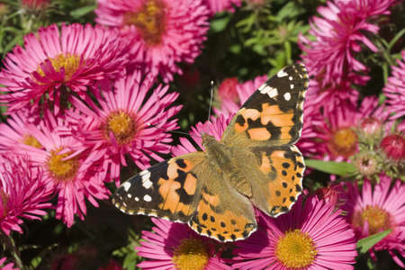 Painted Lady Butterfly (Vanessa cardui) on Pink Aster