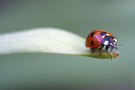 coccinella: Close-up image of a Coccinella 7-punctata (Seven-spot ladybird)