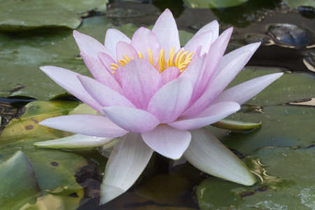 Close-up image of a Pale Pink Water Lily (Nymphaea)