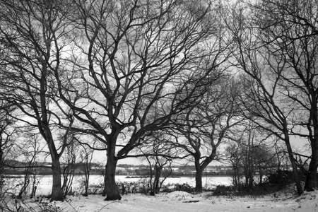 Black and white image of dormant trees in the snow at Wenhaston, Suffolk, England photo