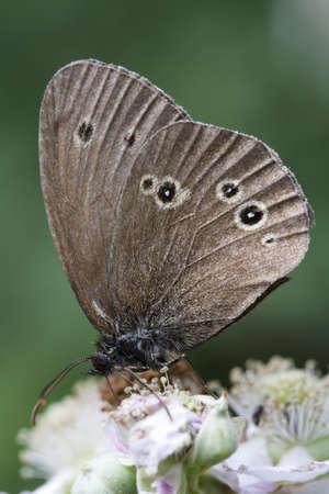 Ringlet butterfly  Aphantopus hyperantus  on bramble blossom