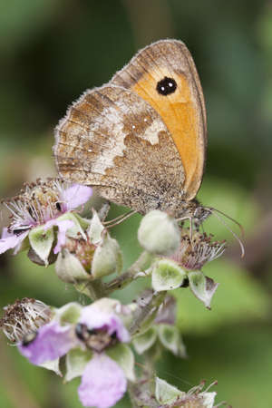 Closeup image of a Gatekeeper Butterfly  Pyronia titnonus  on bramble blossom Stock Photo