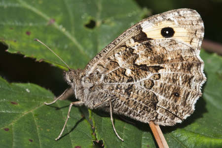 Closeup image of a Grayling Butterfly  Hipparchia semele   Stock Photo