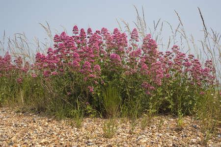 valerian: Valeriana rossa Centranthus ruber su Aldeburgh Spiaggia, Suffolk, Inghilterra