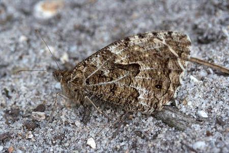 grayling: Imagen de detalle de un semele Grayling Butterfly Hipparchia