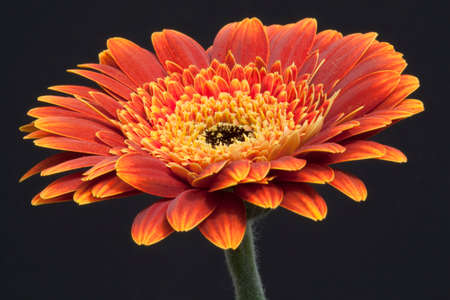 Close-up of a orange Germini against a black  Stock Photo