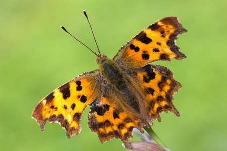 Close-up image of a Comma (Polygonia C-Album) Butterfly  Stock Photo