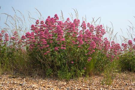 Red Valerian (Centranthus ruber) on Aldeburgh Beach, Suffolk, England