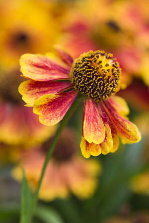 Close-up image of a helenium flower