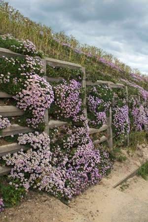 southwold: Pink Erigeron cascading down the cliffs at Southwold beach