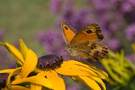 Gatekeeper Butterfly (Pyronia tithonus) on Rudbeckia Stock Photo