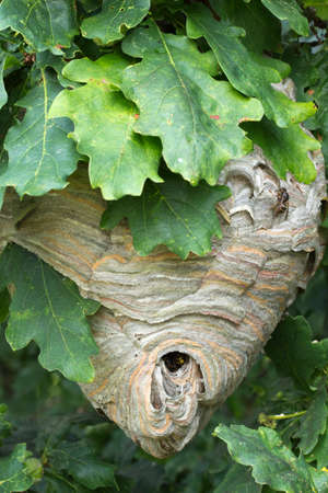 suspend: Active wasp nest suspended in an oak tree.