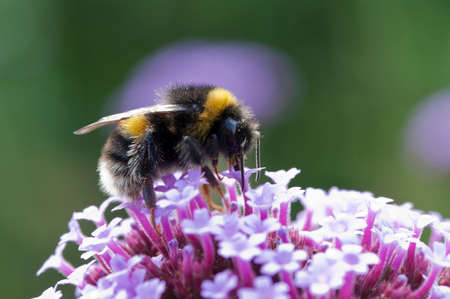 Close-up image of a bee on Verbena bonariensis