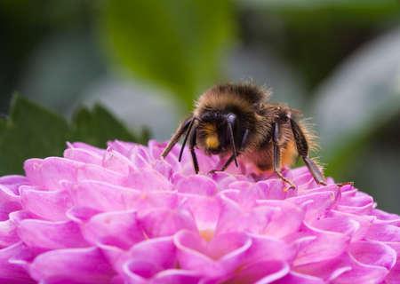 pompon: Bee on Dahlia Pompon