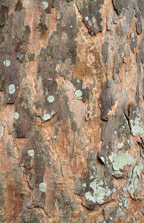sicomoro: Struttura della corteccia di un albero di sicomoro