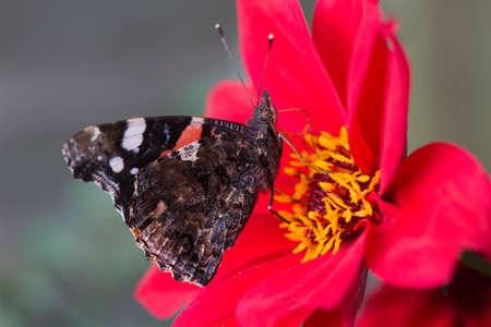 admiral: Closeup image of a Red Admiral Butterfly (Vanessa atalanta)