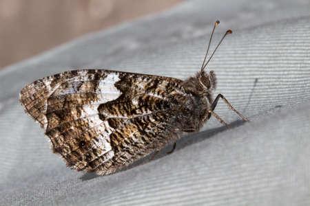 grayling: Closeup image of a Grayling Butterfly (Hipparchia semele)