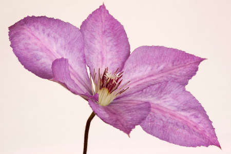 Closeup image of a Clematis Margaret Hunt flower