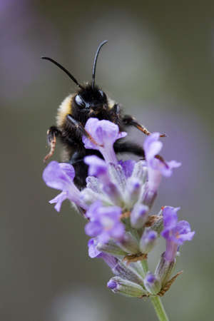 Bee on Lavandula angustifolia (Lavender) Ashdown Forest Stock Photo