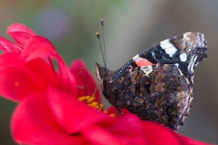 Closeup image of a Red Admiral Butterfly (Vanessa atalanta)