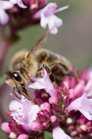 Honey Bee on Origanum