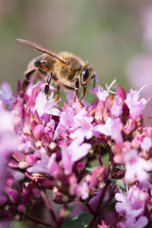 Honey Bee on Origanum (Oregano) laevigatum Herenhausen