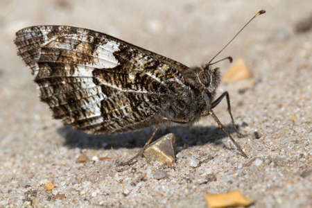 Closeup image of a Grayling Butterfly (Hipparchia semele)