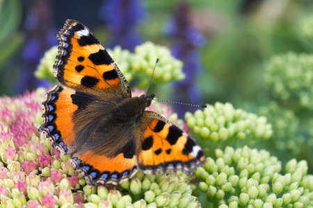 Small Tortoiseshell Butterfly (Aglais urticae) on Pink Sedum Stock Photo