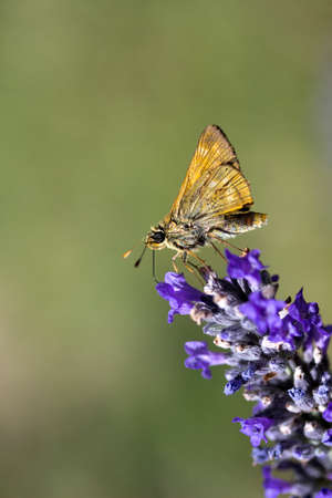 Small Skipper Butterfly (Thymelicus sylvestris) on Lavender (Lavandula) with space for text