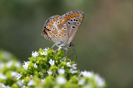 Closeup image of a Brown Argus Butterfly (Aricia agestis)