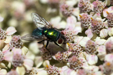 Green Bottle Fly (Phaenicia sericata) on Achillea millefollium Stock Photo