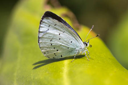Holly Blue Butterfly (Celastrina argiolus) Stock Photo
