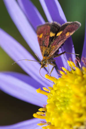Mint Moth (Pyrausta aurata) on purple Aster
