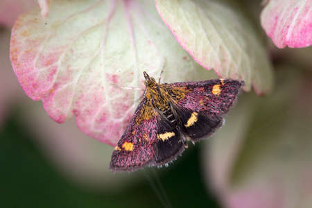 Mint Moth (Pyrausta aurata) on a pink Hydrangea Stock Photo