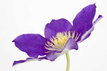 Purple Clematis on a white background Stock Photo
