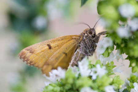 Closeup image of a Burnet Companion Moth (Euclidia glyphica) Stock Photo