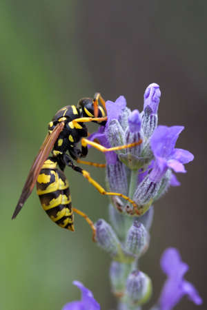 Wasp on Lavandula (Lavender) Stock Photo