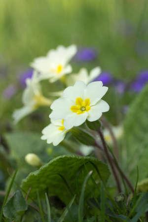 Closeup image of naturalised Yellow Primula (Primroses)