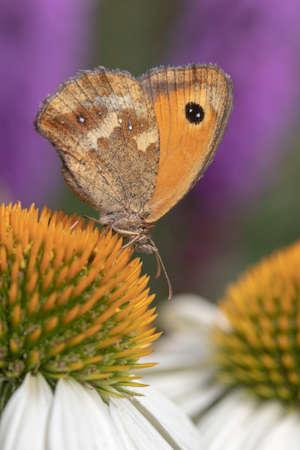 "Nahaufnahme eines Gatekeeper-Schmetterlings (Pyronia Tithonus) auf Echinacea purpurea ""White Swan"" Standard-Bild"