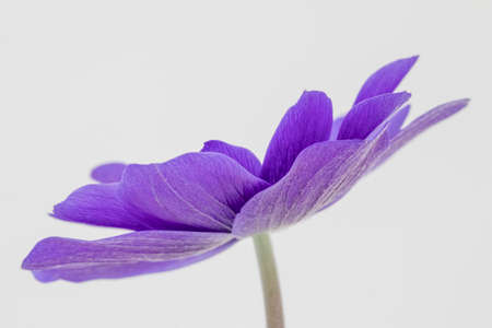 Delicate petals of a blue Anemone coronaria De Caen 'Mr Fokker' flower against a white background Imagens