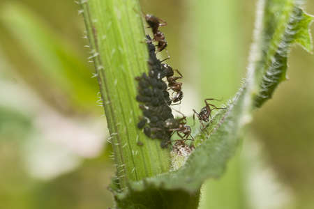 Ants graze aphids - an interesting cognitive picture.