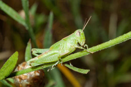 A green grasshopper sits on a branch. Archivio Fotografico
